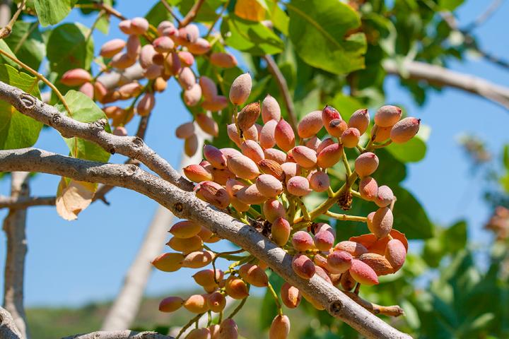 Un pistacchieto a Bronte nel dettaglio: il frutto della Pistacia Vera sull'albero si presenta in grappoli ricoperti da mallo gommoso e resinoso di colore bianco-rossastro al momento della maturazione. All'interno vi è il seme (il pistacchio vero e proprio), ricoperto da un guscio semirigido. Foto del 25 agosto 2017.